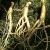 Ženšen koreň