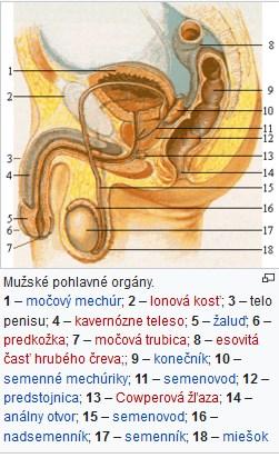 Penis - složení